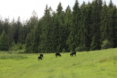 Rinder am Waldrand